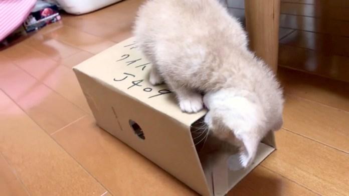 ダンボール箱をガジガジする子猫