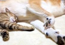 寄り添う柴犬と猫