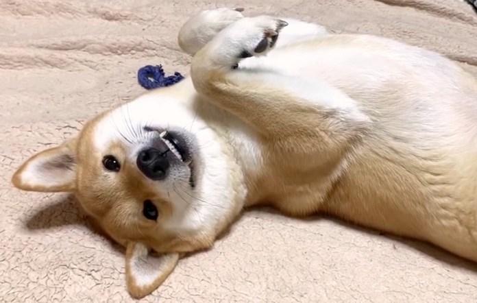 嬉しい柴犬