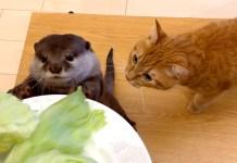キャベツが食べたいカワウソと猫