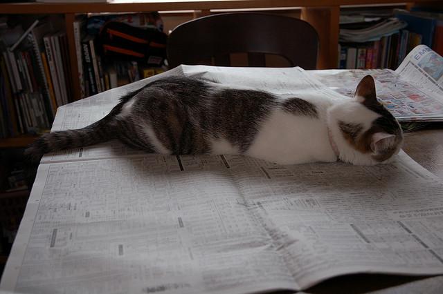 2570600426 cabb8b319f z - どうして猫は新聞の上に乗っかるのか?(写真まとめ)