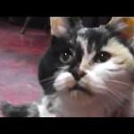 なんと約25歳の、元気な三毛猫看板娘(動画)
