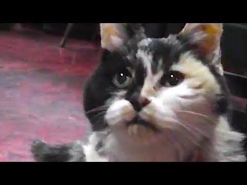 13021825cat - なんと約25歳の、元気な三毛猫看板娘(動画)