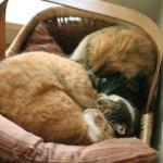 春一番の吹いた夜にぴったりな、ハートの形で眠る猫
