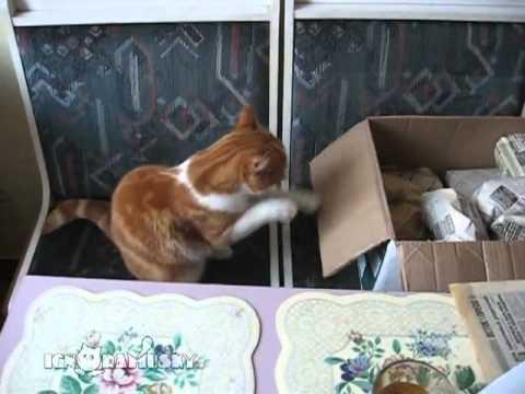 130312cat - 黙々とシャドウボクシングをする猫の動画