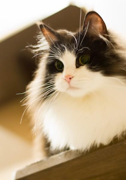 130406cat 422x600 - 本日の美人猫vol.17