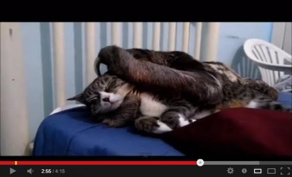 130420catandsloth 600x365 - 猫とナマケモノによるプロレスっぽい動画