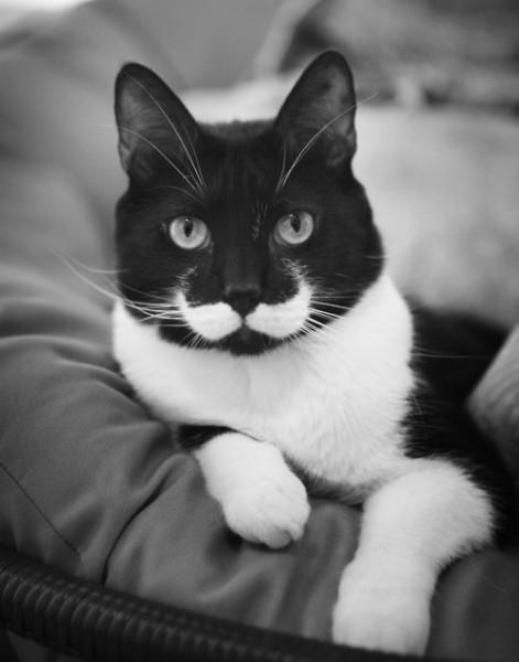 130524kingcat 471x600 - 続々「王様ヒゲ」を持つ猫たち