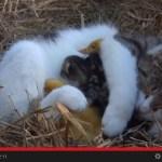 自分の子どもと一緒に、アヒルの雛も抱えて眠ってしまう猫(動画)