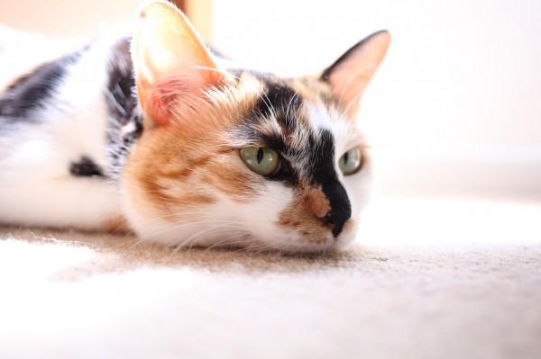 tumblr mm078npA1s1qzqbkqo1 1280 600x399 - 本日の美人猫vol.20