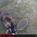 ご飯中の猫へ襲い来るハリネズミ(動画)