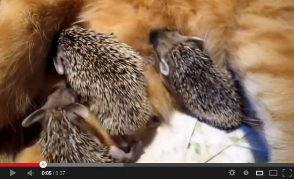 130602HEDGEHOGcat 600x365 - ハリネズミの赤ちゃんに授乳させる母猫(動画)