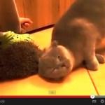 恍惚とした表情で、ハリネズミで毛づくろいをする猫(動画)