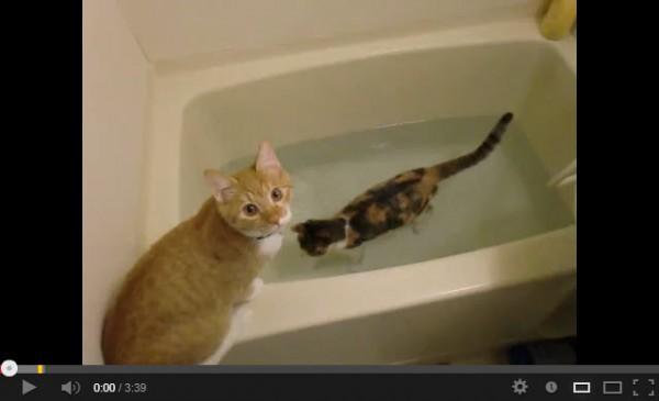 130728catinbath 600x365 - 浴槽内で水遊びに耽る三毛猫(動画)