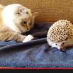 ハリネズミの上に座った猫、痛さに目を丸くする