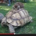 肝の据わった子猫、ゾウガメに乗って移動する