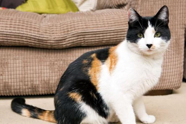 131020mike01 600x400 - 20ポンドで買った三毛猫が、実は雄だったと判明