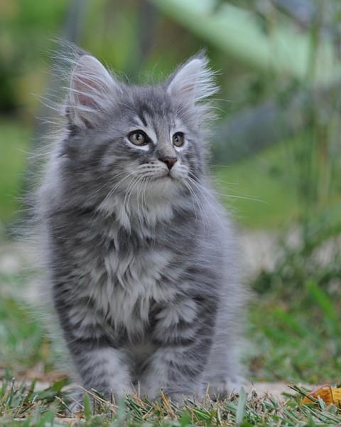 131110cat 480x600 - 本日の美人猫vol.43