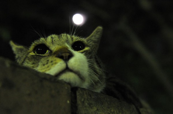 140202mooncat 600x398 - 本日の美人猫vol.61