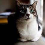 愛を運んでくれそうな、ハート柄の鼻を持つ猫