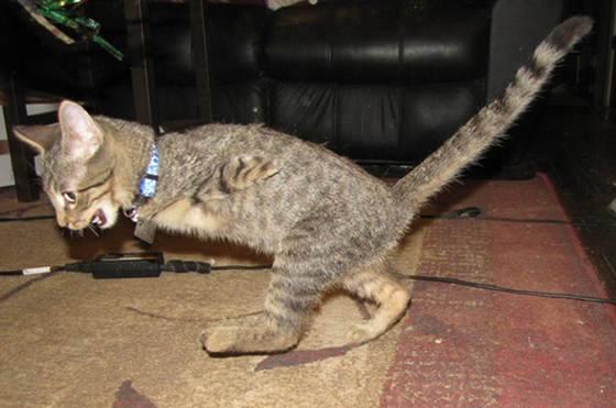 140226cat Mercury02 - 前脚を失った子猫、二足歩行で元気一杯に生きる