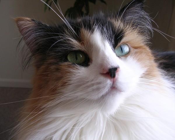 140228cat 600x480 - 本日の美人猫vol.66