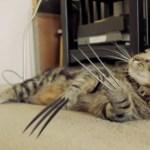X-Menのウルヴァリンを、猫が演じたらこうなる