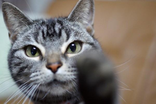 140324cat 600x400 - 本日の美人猫vol.70