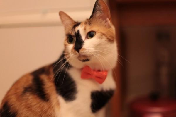 140420catbowtieJUTI01 600x400 - LINTON社製ツイードの、猫専用蝶ネクタイ「cat bow tie JUTI」