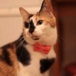 LINTON社製ツイードの、猫専用蝶ネクタイ「cat bow tie JUTI」