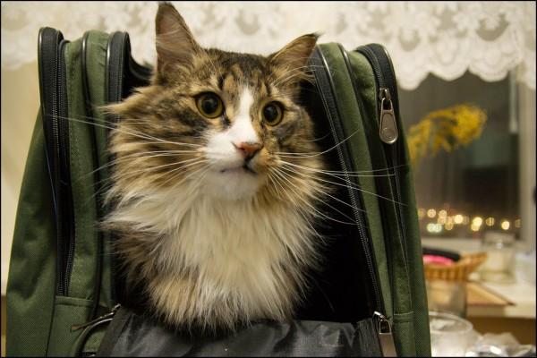 140422cat 600x400 - 本日の美人猫vol.75