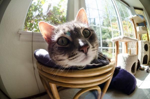 140511cat 600x397 - 本日の美人猫vol.78
