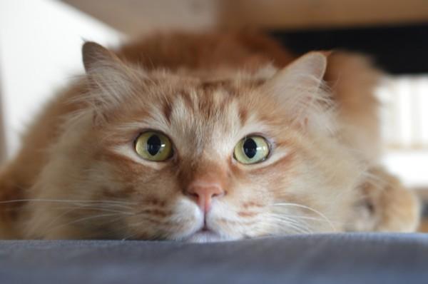 140618koimo 600x398 - 本日の美人猫vol.86