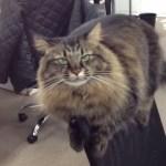 オフィスチェアを陣取る猫、背もたれから社員に睨みをきかせる