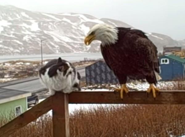 140731catgizmo 600x445 - 猫のGIZMO君、巨大な鷲をソフトに諭す