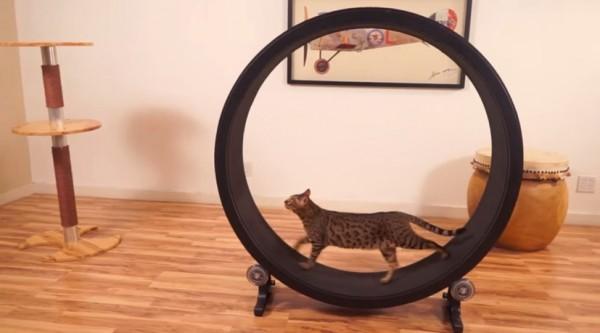 140804catWheel 600x333 - 猫の運動不足を解消する猫回し車、Kickstarterにて目標資金集めに成功