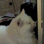 iMacに挑む白猫、二次元と三次元との間を攻める