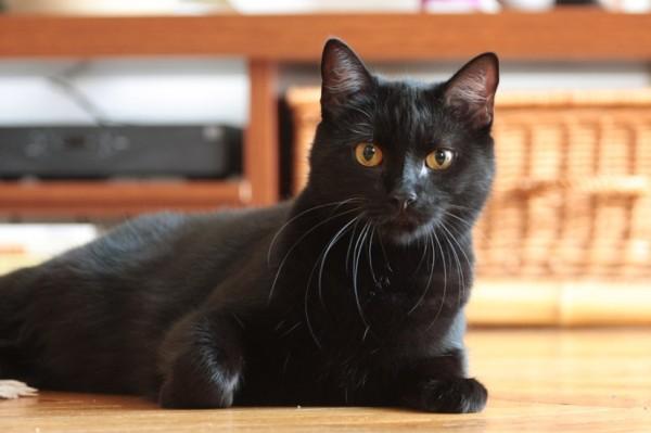140816blackcat 600x399 - 本日の美人猫vol.95