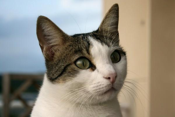 140908cat 600x400 - 本日の美人猫vol.100