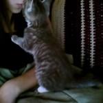 甘えるキジトラの子猫、お休み前のキスをせがむ