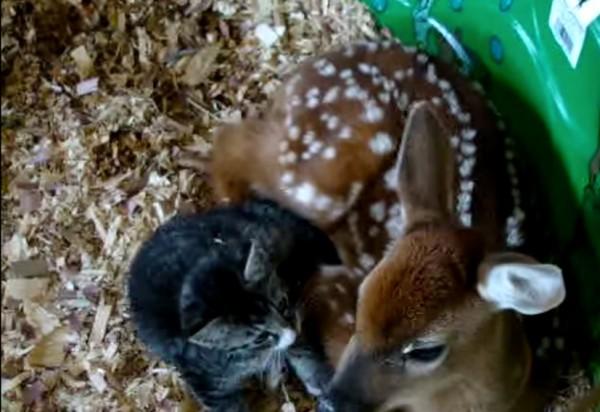 140928catanddeer 600x412 - 寄り添う子猫と子鹿、仲むつまじく共に丸まる