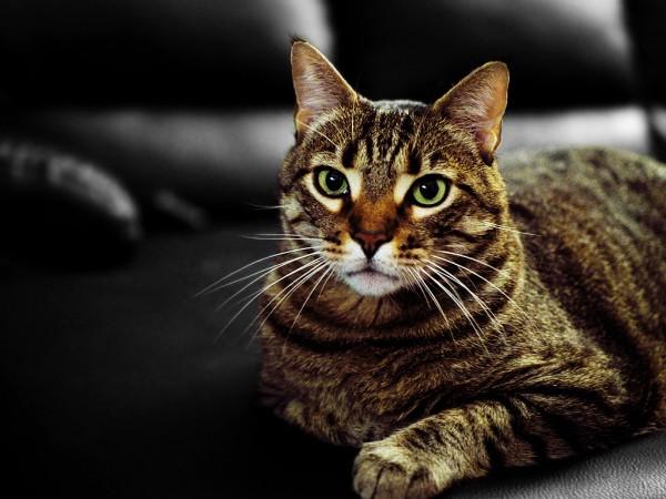141003coolcat 600x450 - 本日の美人猫vol.104