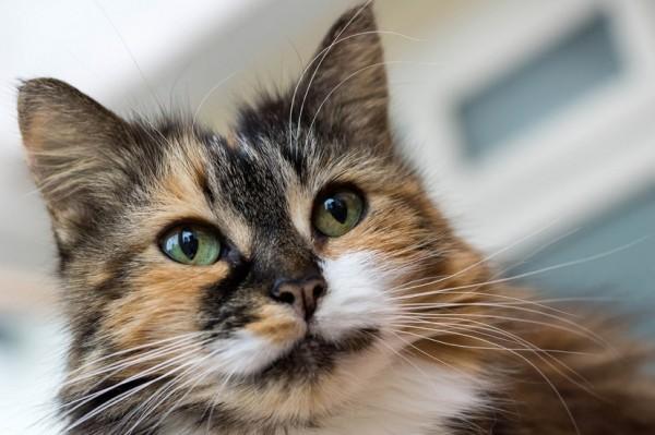 141010cat 600x399 - 本日の美人猫vol.105