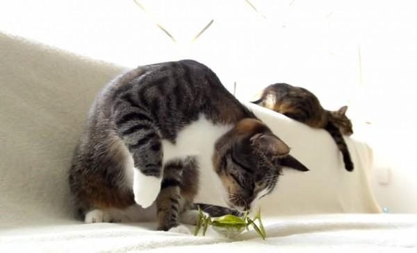 141012hexbug 600x365 - リアルな虫ロボに対峙する猫、猫パンチで退治を図る
