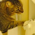 水洗トイレを使いこなす猫、用足し後に水を流す