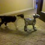 SONYのAIBOに対面する猫、おずおずとお尻の臭いを嗅ぐ