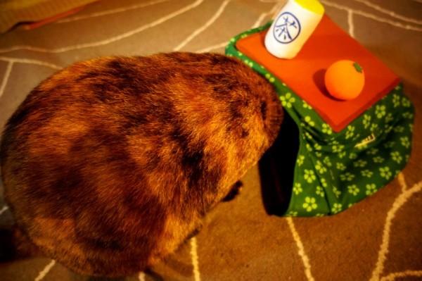 141221kotatsu01 600x399 - 炬燵の着ぐるみを検分する猫、頭隠して尻隠さず状態に