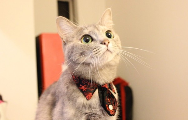 150109 necotie IMG 214902 600x384 - 猫用ネクタイを締めた猫、心なしか鼻高々