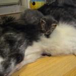 大型犬の上で眠る猫、ハイレベル間違い探し状態に