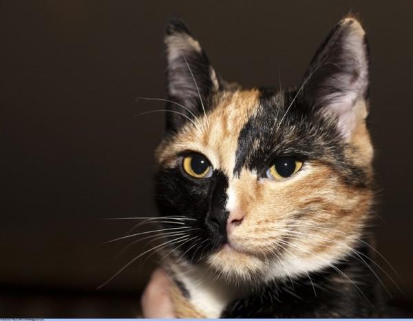 150117cat 600x466 - 本日の美人猫vol.118